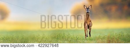 Young Roe Deer Buck Spring Forward And Approaching From Front View