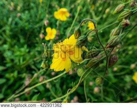 Macro Shot Of Evergreen Trailing Plant With Clusters Of Bright Yellow, Saucer-shaped Flower With Ora