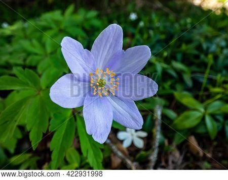 Single Spring Wood Anemone - Anemone Nemorosa Allenii - Large Wonderful Lavender-blue Or Silvery Blu