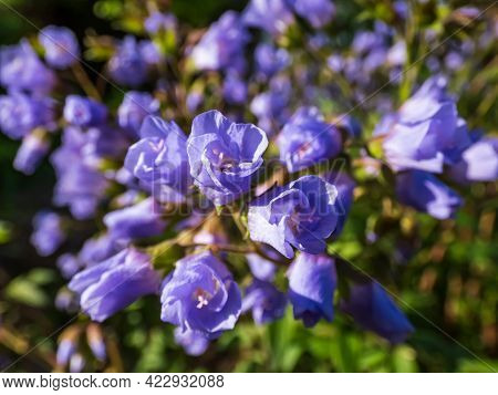 Beautiful Blue Floral Background. Macro Shot Of Group Of Flowers With Light Blue-violet Petals Of Sp