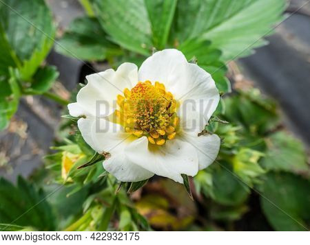 Macro Of Strawberry Flower With Detailed Varying Length Stamens (androecium) Arranged In A Circle An