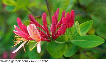 Close Up Honeysuckle Flowers With Impressive Bicolor Blooms Of Pink And White. Lonicera Periclymenum