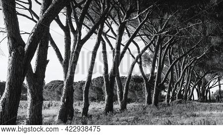 Black And White Image Of Sunlight On An Avenue Of Pine Trees In A Vineyard In Corsica