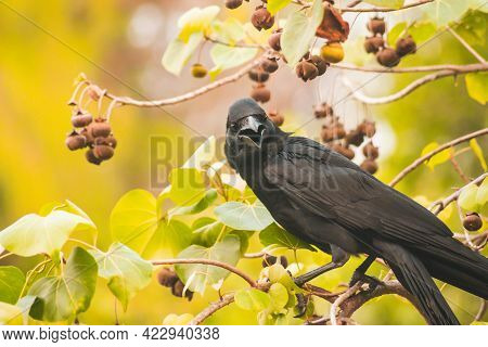 Carrion Crow On Branch With Spring Nature Animal Brid Wildlife Background.