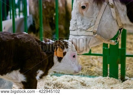 Portrait Of Milking Brown And White Holstein Cow At Agricultural Animal Exhibition, Cattle Trade Sho