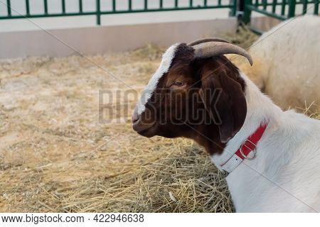 Portrait Of White And Brown Goat With Little Horns At Agricultural Animal Exhibition, Small Cattle T