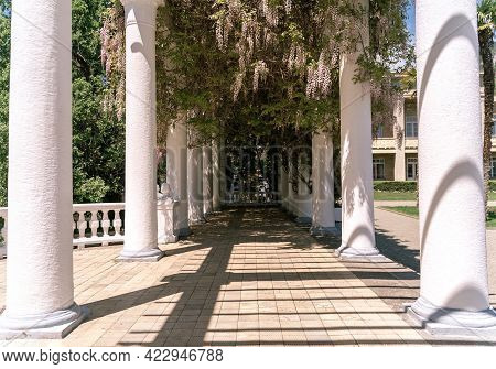 Blooming Wisteria Lilac Vine Blossoms Climbing Along The Top Of Pavilion And Its White Stone Columns