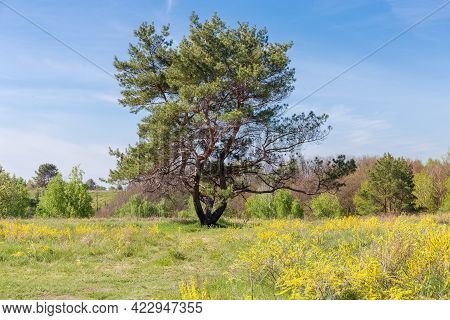 Single Pine With Curved Triple Trunk Branching Off The Ground Among The Meadow Covered With Grass An