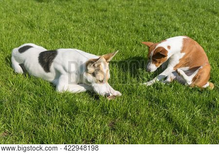 Basenji Dog Hesitate To Take Off Bone From Bigger And Younger Cross-breed Of Hunting And Northern Do