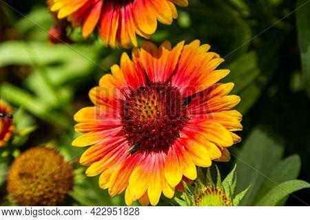 Wild Gerberas. Orange. Yellow Red Flowers. Flowers In Nature