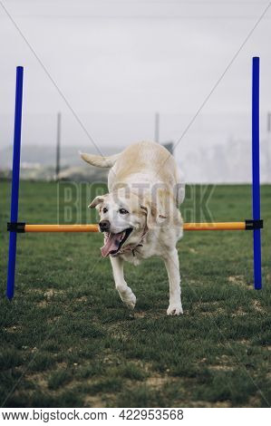 Elderly Labrador In Training. The Retriever Jumps Over The Barrier.