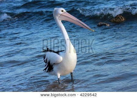 Single Pelican B