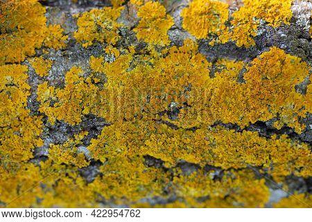 Lichen On Tree Trunk Background. A Lot Of Yellow Lichen. Xanthoria Parietina. Fungus Macro. Nature B