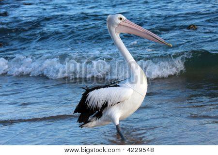 Single Pelican C
