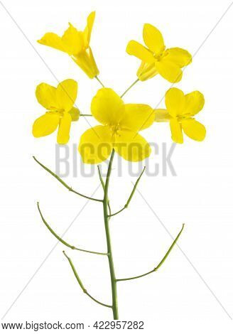 Rapeseed  Flowers (brassica Napus )  Isolated On White