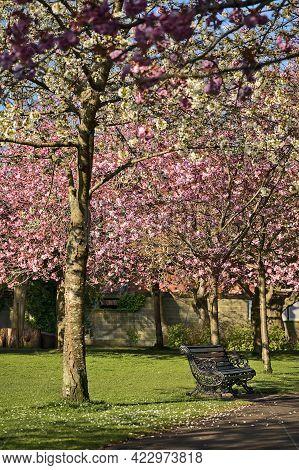 Beautiful Spring View Of Blooming Pink Cherry (prunus Shogetsu Oku Miyako) Trees Empty Alley And Wal