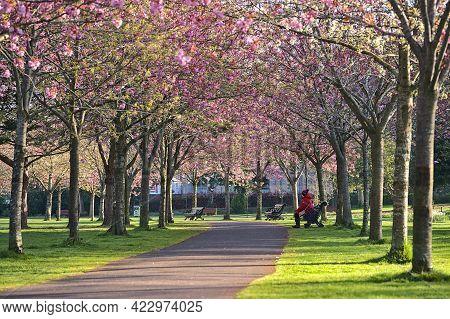 Beautiful Spring View Of Blooming Pink Cherry (prunus Shogetsu Oku Miyako) Trees Almost Empty Alley