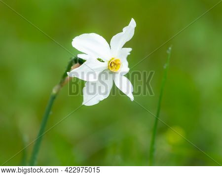 Flowering Narcissus (narcissus Radiiflorus) Growing In A Meadow On A Rainy Day In Summer, Austrian A