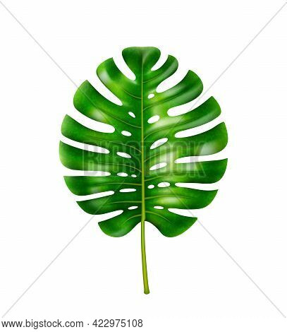 Monstera Plant, Isolated Leafage With Holes, Decoration Of Tropics And Exotic Forests. Vegetation By