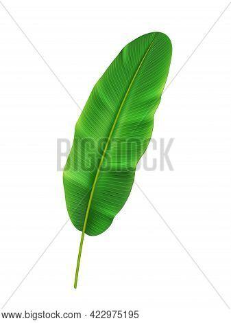 Exotic And Tropical Leaves Of Banana Plant, Isolated Seasonal Flourishing. Vegetation And Botany, Br