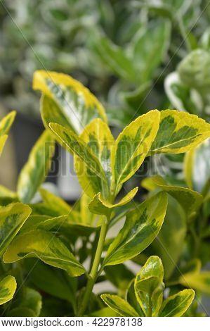 Japanes Spindle Aureus - Latin Name - Euonymus Japonicus Aureus