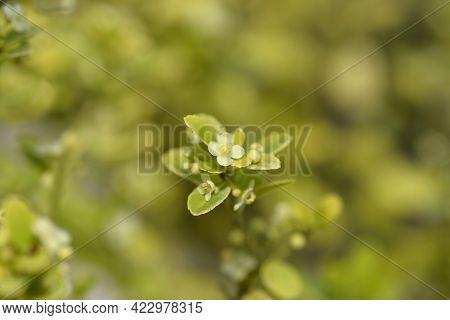 Box-leaved Holly - Latin Name - Ilex Crenata