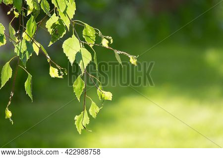 Natural Background. Spring Background With Bright Fresh Birch Foliage In Sunlight