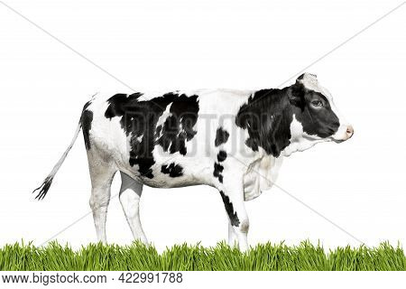 Black And White Cow And Green Grass Border Isolated On White Background. Farm Animals Or Agriculture
