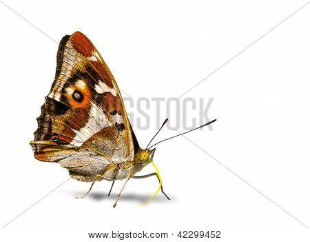 Schmetterling vor wei�em Hintergrund