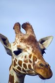 giraffe closeup with blue sky in the background ** note: slight blurriness, best at smaller sizes poster