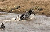 Zebra climbing on riverbank with crocodiles on it in Masai Mara Kenya poster