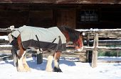 a clydesdale horse wearing a blanket poster