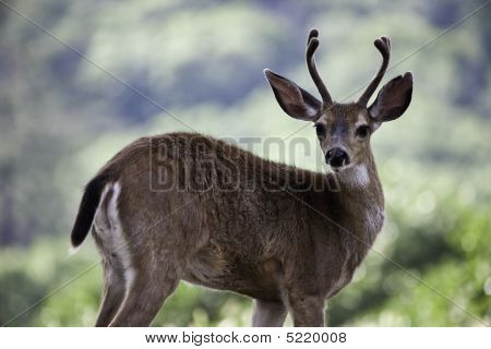 Young Two Year Old Male Deer