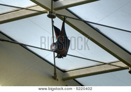 Large Flying Fox aka kalang in Tiergarten (Vienna zoo) poster