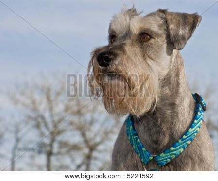 Miniature Schnauzer Outdoors In Front Of Blue Skies Background