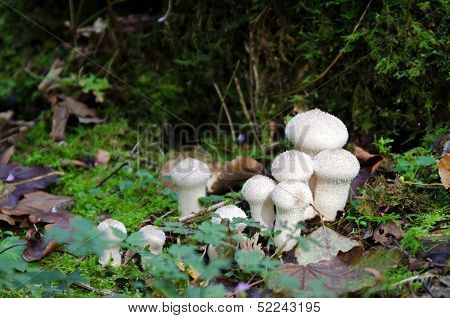 Spiney puffball mushrooms