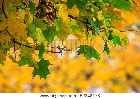 Green Leaves On A  Yellow Foliage Background