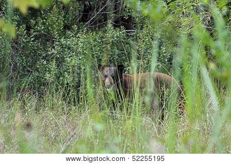 Black Bear in the Everglades