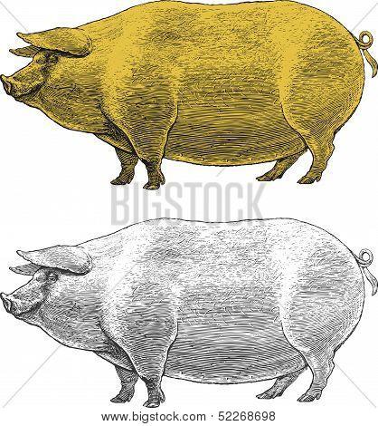 Vector illustration of pig in vintage engraved style poster
