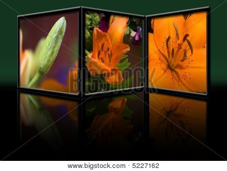 Asiatic Tiger Lily