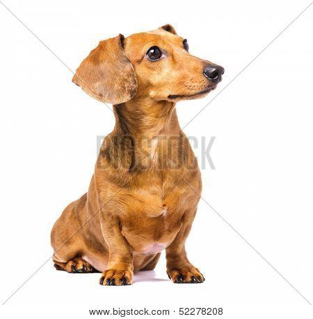 Dachshund Dog looking left