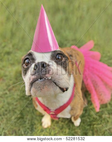 a cute boston terrier with a dress and a pink party hat on