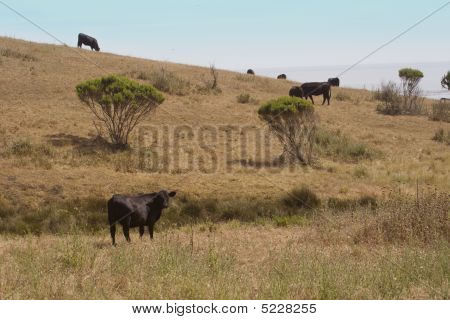 Cows In Perspective