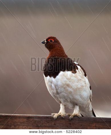 Willow Ptarmigan-alaska State Bird