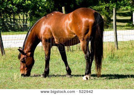 Bay Horse Grazing