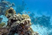 coral reef with soft and hard corals at the bottom of tropical sea on blue water background poster
