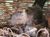 Overcrowded blackbird nest in a basket just before takeoff poster
