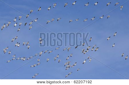 A Snow Geese Flock Races Past In A Blue Sky