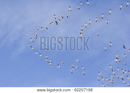 A Snow Geese Flock Races Past In Formation