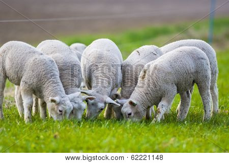 Little Lambs In The Meadow At Spring Time, The Netherlands